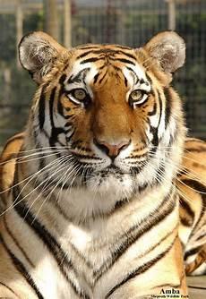 tiger adoption shepreth wildlife park