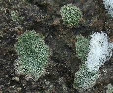 Winter Pflanzen Moose Flechten Moss Lichen Fotogalerie