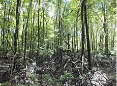 Pengertian Hutan Mangrove Dan Ekosistem Mangrove