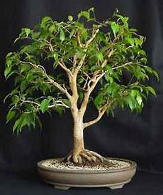 bonsai ficus benjamini help my ficus helpfulgardener gardening forum