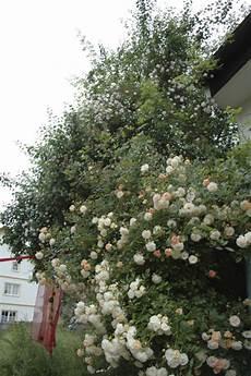 Ghislaine De F 233 Ligonde Rosa Ca 200cm Turbat