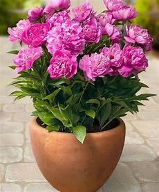 pivoine arbustive en pot achetez maintenant une plante vivace pivoine rome