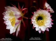 fiori di cactus creamaricrea fiori di cactus
