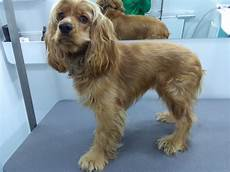 sally the cocker spaniel has first grooming experience dog grooming cork