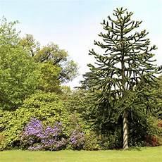 araucaria feuillage persistant arbres et nature