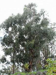 eukalyptus winterhart kaufen eucalyptus globulus blauer eukalyptus tasmanischer