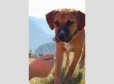 Otto (American Pitbull Terrier, Amerikanischer