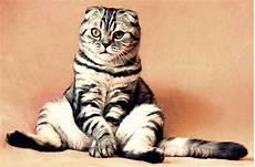 Gokil 50 Gambar Kucing Duduk