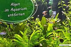 algen im aquarium entfernen 5 wirksame hausmittel