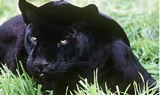 jaguar animal noir black jaguar photos wwf