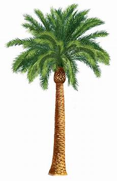 Cing Le Palme - palm tree clip and on palm trees clip clipartix