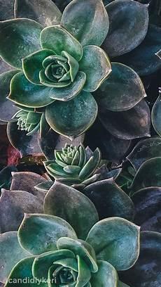 cactus flower iphone wallpaper december28m succulents wallpaper plant wallpaper