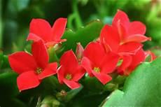 pflanze mit roter blüte giftige ungiftige zimmerpflanzen f 252 r mensch und tier