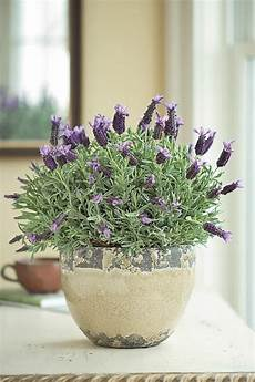 Lavendelpflanze Topf Pflanzen Pflegen Tipps 252 Berwintern