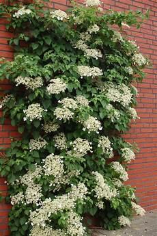 kletterpflanze schatten immergrün hydrangea anomala kletterhortensie schatten