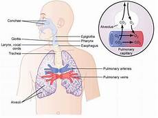 trachea bronchi and bronchioles medical physiology