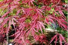plantes oasis erable du japon dissectum garnet