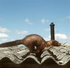 Mäuse Im Haus - raubtiere wie den marder aus dem haus bekommt welt