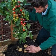 kartoffel tomaten pflanze tomtato plant grows both tomatoes and potatoes