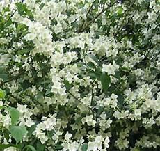 arbuste à fleurs blanches odorantes seringat de lemoine philadelphus lemoinei jardins