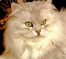 immagini di gatti persiani immagini di gatti persiani wr39 187 regardsdefemmes