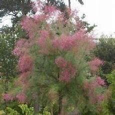 Tamaris D 233 T 233 Tamarix Ramosissima Pink Cascade