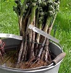 pflanzen veredelungsstelle rebpflanzen setzen u schneiden pflanzung reben