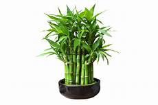 bambou d intérieur le bambou un c 244 t 233 naturel dans la d 233 coration de maison