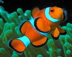 Cara Memelihara Ikan Nemo Drh Fira Sovica
