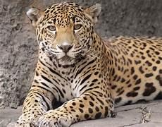 inside the jaguar jungle what to know about audubon zoo inside the jaguar jungle what to know about audubon zoo exhibit apex predator after escape