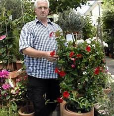 kübelpflanzen winterhart blühend k 252 belpflanzen regelm 228 223 ig d 252 ngen rheinfelden badische