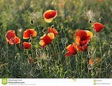 paesaggi fioriti prati fioriti papaveri fotografia stock immagine di