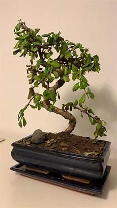 Bonsai L 228 Sst Bl 228 Tter H 228 Ngen Und Fallen Pflanzenpflege