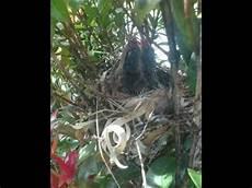 Cara Burung Liar Memberi Makan Anaknya Burung Barabah