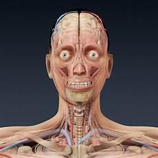 menschliche organe frau 3ds max human anatomy human anatomy