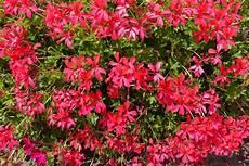 fiori da davanzale gerani parigini una cascata di fiori sul davanzale