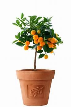 agrumes en pot when do i repot citrus2grow