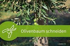 olivenbaum schneiden 4 schnittanleitungen f 252 r ein