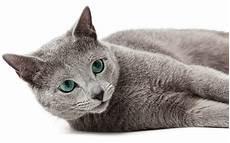 blue cats russian blue cat names 300 brilliant russian cat name ideas
