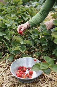 holunderblütensirup rezept landlust 67 besten erdbeeren bilder auf erdbeeren mein