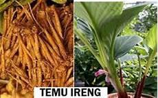 Solusi Sehat Herbal Alami Untuk Keluarga Khasiat Temu Ireng