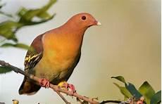 Suara Burung Tanah Hutan Untuk Pikatan Mp3 Harga
