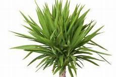 yucca palme zurückschneiden yucca palme versiegeln 187 wann und warum macht das