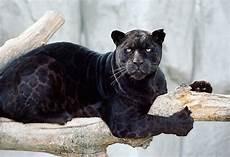 jaguar animal noir image result for black jaguar cat beautiful
