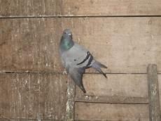 Soigner Un Pigeon Page 2