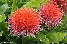 pflanze mit roter blüte pin schmidt auf k 252 belpflanzen k 252 belpflanzen