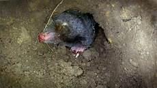 Maulwurf Die Seite Mit Der Maus Wdr