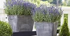 lavendel im topf überwintern lavendel im topf kultivieren mein sch 246 ner garten