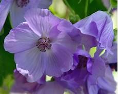 tutti i fiori gardensonline abutilon vitifolium