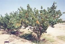 la taille des abricotiers tailler un abricotier bergeron